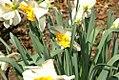 Narcissus Croila 0zz.jpg