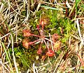 Nationaal park drents-friese wold. Zonnedauw (Drosera).jpg