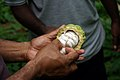 National Cocoa advisor Dr John Konan counts the number of beans in a cocoa pod. (10708819954).jpg