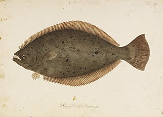Olive flounder - Image: Naturalis Biodiversity Center RMNH.ART.91 Paralichthys olivaceus (Temminck and Schlegel) Kawahara Keiga 1823 1829 Siebold Collection pencil drawing water colour