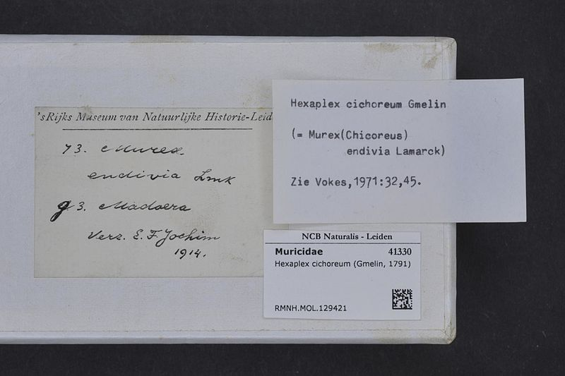 File:Naturalis Biodiversity Center - RMNH.MOL.129421 1 - Hexaplex cichoreum (Gmelin, 1791) - Muricidae - Mollusc shell.jpeg