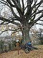 Naturdenkmal 1 Linde Lutherlinde.jpg