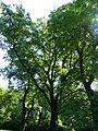 Naturdenkmal Stiel-Eiche Friedhof der Märzgefallenen Volkspark Berlin-Friedrichshain 07.JPG