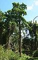 Nauclea orientalis 4.jpg