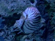 Dosiero: Nautilus.ogv