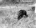 Neg 13748 Bild 21750 Madagssiskt vildsvin (potamochoersu larvatus) Djuret förstoras 2 gånger 28 1 - SMVK - 021750.tif