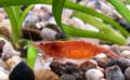Neocaridina heteropoda female.png
