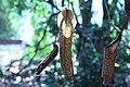 Nepenthes 'Miranda' (8).jpg