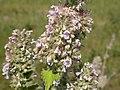 Nepeta cataria (5201377351).jpg