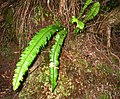 Nephrolepis exaltata subsp. hawaiiensis (5333987411).jpg