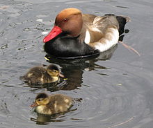 Netta rufina -St James's Park, London, England -male with ducklings-8.jpg