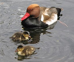Netta rufina -St James's Park, London, England -male with ducklings-8