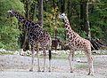 Netzgiraffe (Giraffa camelopardalis reticulata) Tierpark Hellabrunn-12.jpg