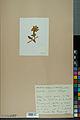 Neuchâtel Herbarium - Anthyllis cherleri - NEU000034015.jpg