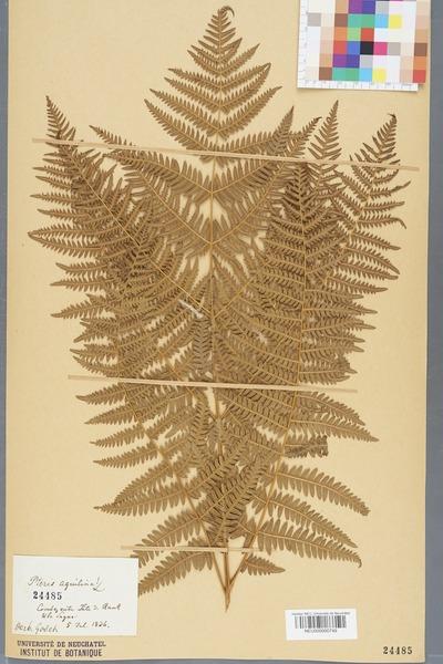 File:Neuchâtel Herbarium - Pteridium aquilinum - NEU000000749.tiff