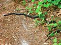 Neusiok trail black snake.JPG