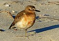 New Zealand dotterel. ( Charadrius obscurus) (27577630635).jpg