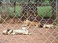 Nh Lions.jpg