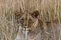 Nkomazi Game Reserve, South Africa (22652721935).jpg