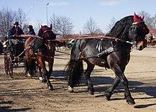 Noriker Pferd Wikipedia
