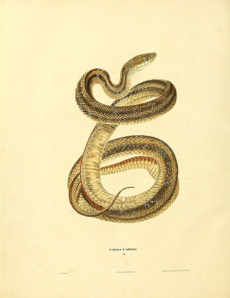 File:North American herpetology, or, A description of the reptiles inhabiting the United States (6046612006).jpg