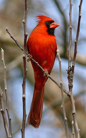 Wildlife of North Carolina - Cardinalis cardinalis northern cardinal