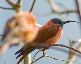 Northern carmine bee-eater-01