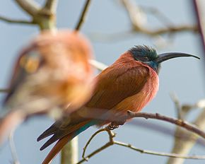 Northern carmine bee-eater-01.jpg