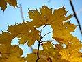 Norway Maple (30980168152).jpg