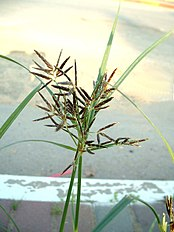 Nutgrass Cyperus rotundus flower head.jpg