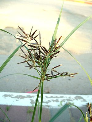 Nutgrass Cyperus rotundus flower head