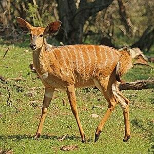 Nyala - Female