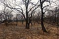 Oak trees that where severely damaged in a wildfire that occurred three weeks earlier. (25018398631).jpg