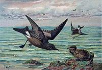 Oceanodroma leucorhoea (Naumann).jpg