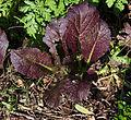 Ocimum basilicum Red Rubin.jpg