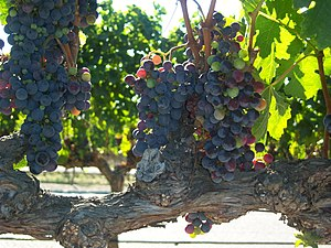 Example of old vine branch with ripening grape...