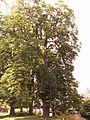 Olešno (Mšeno) náves - památné stromy.jpg