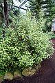 Olearia paniculata - Flora park - Cologne, Germany - DSC00551.jpg