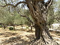 Olive trees in the traditional garden of Gethsemane (6409539051).jpg