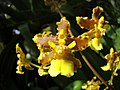 Oncidium lineoligerum - Flickr 003.jpg