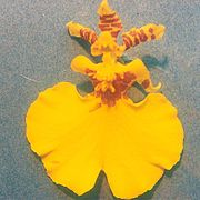 Oncidium varicosum.jpg