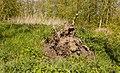 Ontwortelde boom. Locatie, natuurterrein Beekdal Linde Bekhofplas 02.jpg