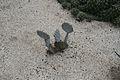 Opuntia Violacea & EEUU - Mexico (1) (11982603285) (2).jpg
