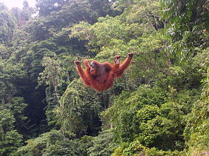 Social and environmental impact of palm oil - A Sumatran orangutan at Bukit Lawang, Indonesia.