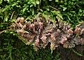 Orangeroter Kammpilz Phlebia radiata.jpg