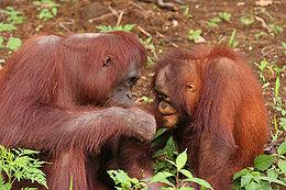 Orangutans2.jpg