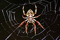 Orb Spider (Araneus sp?) (8571334311).jpg