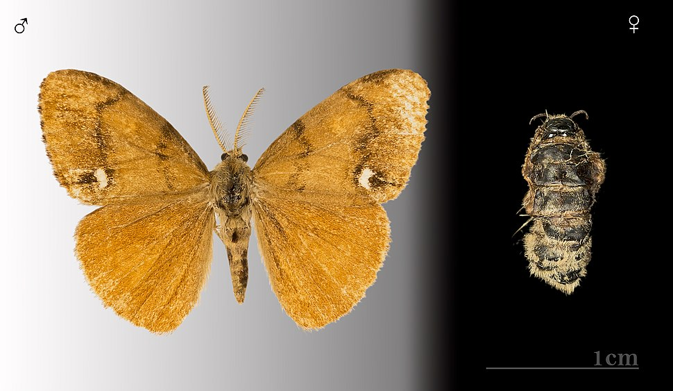 Orgyia antiqua MHNT.CUT.2012.0.356.Gi%C3%A8res