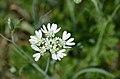 Orlaya grandiflora (7408736488).jpg