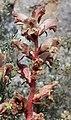 Orobanche alba inflorescence (36).jpg